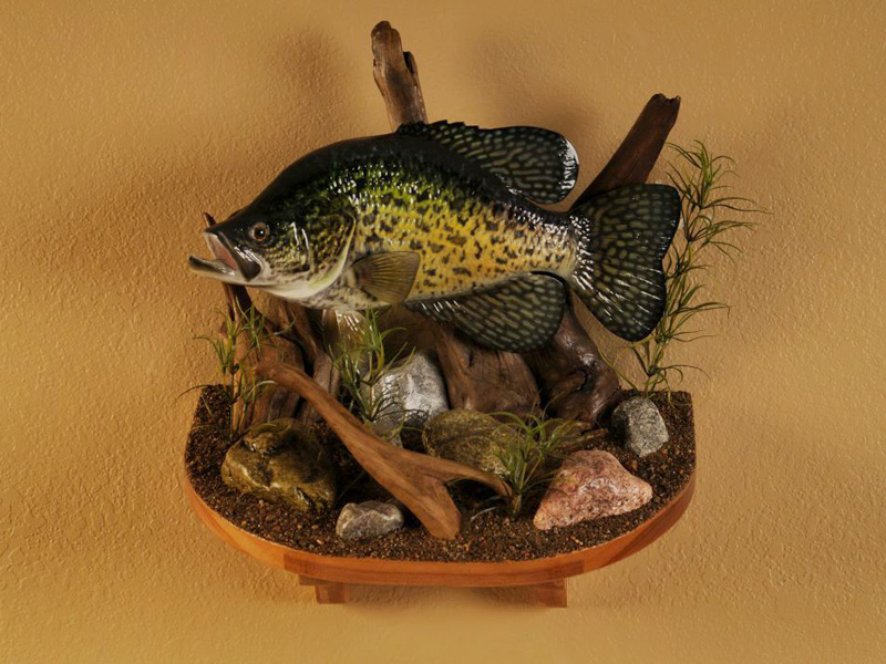 Anybody know a decent priced taxidermist for crappie mounts for Fish taxidermy near me